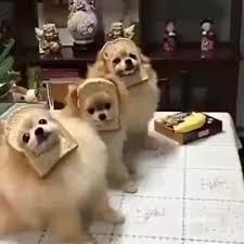 Pomeranian Meme - dog meme bread pomeranian coub gifs with sound