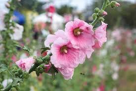 top ten cottage garden flowers include hollyhock american gardening