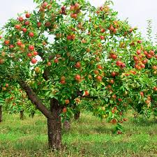 interpretation of a dream in which you saw apple tree