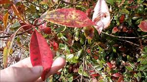 red robin or the photinia or red and green fire shrub youtube