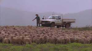 australian shepherd herding sheep dog herding sheep stock footage video shutterstock