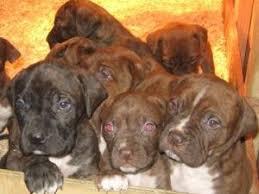 american eskimo dog for sale in colorado american bulldog puppies in colorado