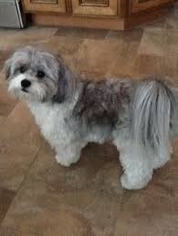 shi poo black adult shih poo dogs three maggie the shih poo all grown