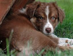 australian shepherd wolf view topic these lonely streets semi lit lit stray dog rp