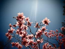 Magnolia Wallpaper by Flower Magnolia Sunshine Flowers Botanic Blue Fragrant Blooms