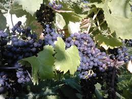 grape growing urban wine grower