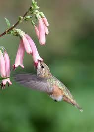 hummingbird flowers hummingbird flower planting zones hummingbird plants by zone