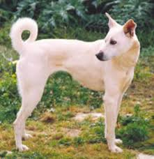 afghan hound agility cretan hound has an excellent scent speed and agility dog
