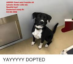 Border Collie Meme - a255001 comet male 8 months old labrador border collie mix