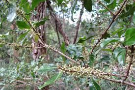 field guide to the native plants of sydney sydney u0027s wildflowers and native plants myrsine rapanea