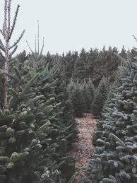 karlson evergreens cut your own christmas tree farm