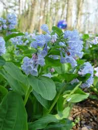 plants native to virginia how to grow virginia bluebells