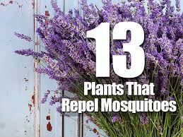 mosquito plants 13 plants that repel mosquitoes