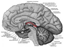 Part Of The Brain Stem That Is Involved In Arousal The Diencephalon Boundless Anatomy And Physiology