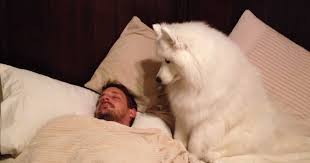 american eskimo dog youtube samoyed wakes her owner in the most gentle and precious fashion