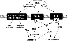 high density lipoprotein stimulates endothelial cell migration and