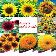 f1 hybrid ornamental sunflower seeds for planting buy sunflower