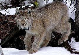 Colorado wildlife images Colorado wildlife officials say their effort to reintroduce the