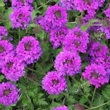 verbena flower potted verbena flower and plant delivery nyc florist plantshed