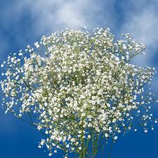 baby s breath order baby s breath global