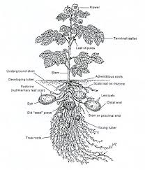 parts of a plant dissection and diagram in this lesson students