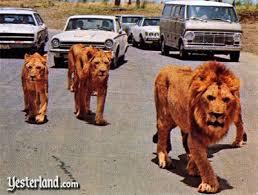 Lavovi / Lions pictures - Page 2 Images?q=tbn:ANd9GcQxKhH4EGWMEhBta4Yy9_NZGQkAMbEYtjLJDz55FNIRJh3IyY13TQ