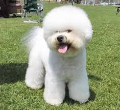 bichon frise fluffy 128 best bichon frise and other dogs images on pinterest
