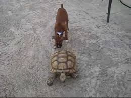 boxer dog youtube tortoise chases dog funny youtube
