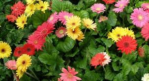 gerbera plant gerbera flower farming information gerbera flower cultivation