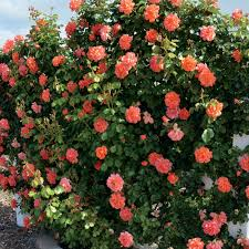 above all rose bush fragrant climbing rose grown organic potted