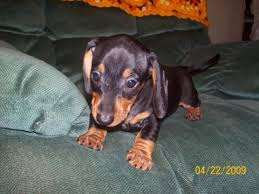 affenpinscher breeders texas affenpinscher puppies sale classified by derickson52 brilliant