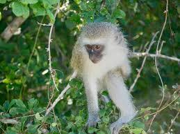 Monkey Bench Cute Little Thieves U2013 Well Worn Backpack