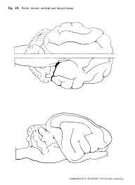 brain anatomy coloring book comparative anatomy atlas felis domesticus gans collections and