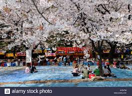 group of japanese people having picnic called hanami under