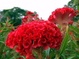 celosia flower amazing and most beautiful celosia flowers pictures