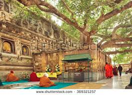 bodhi tree india stock images royalty free images vectors