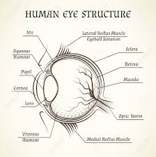 Picture Of Eye Anatomy Vector Structure Of The Human Eye Anatomy And Medicine Iris