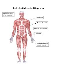 Picture Diagram Of The Human Body Labelled Diagram Of The Human Body System Human Body Labeled