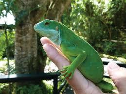 Seeking Lizard Cast Seeking Out The Fiji Crested Iguana