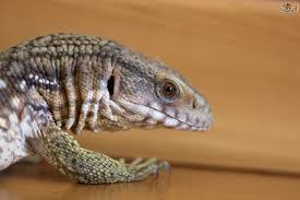 keeping a monitor lizard pets4homes