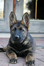 belgian shepherd for sale in india best 20 black german shepherd puppies ideas on pinterest black