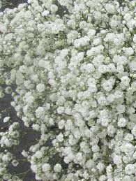 baby s breath looking new baby s breath flower interesting gypso 200