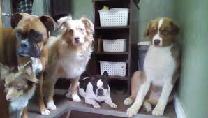 australian shepherd jump height how should i raise my australian shepherd puppy backyard chickens
