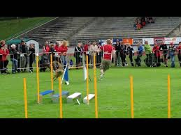 belgian sheepdog crossword belgian sheepdog sporter tv all about sport