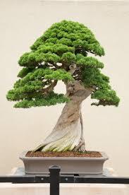 bonsai saule pleureur chinese juniper bonsaï bonsai pinterest árvores bonsai