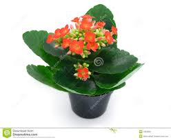 flowering house plants online flowering indoor plants that like