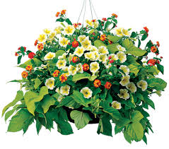 creating successful hanging baskets state by state gardening web