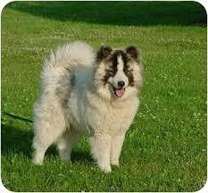 chow chow x belgian malinois bijou adopted dog austin mn chow chow siberian husky mix