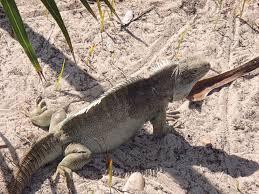 iguana island free images nature wilderness animal wildlife wild