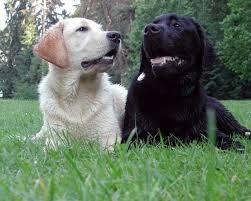 labrador center all about labrador retriever dogs and puppies